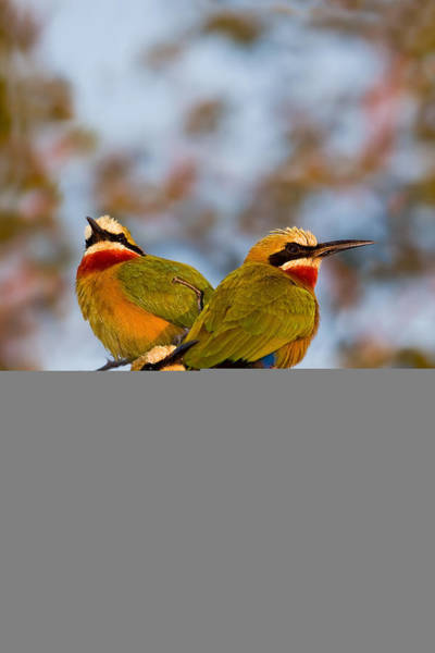 Wall Art - Photograph - White-fronted Bee-eaters by Basie Van Zyl