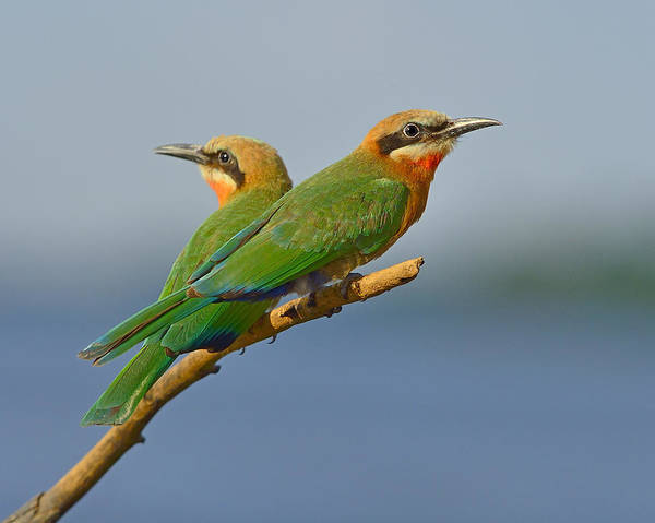 Photograph - White-fronted Bee-eaters by Tony Beck