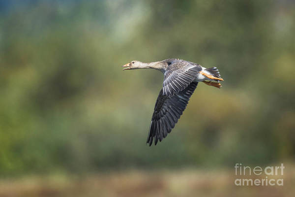 Photograph - White Fronted Goose by Craig Leaper