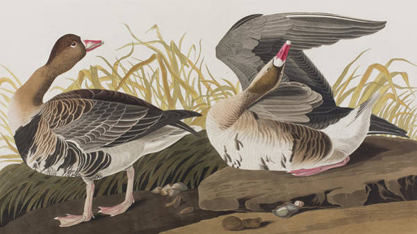 Wall Art - Painting - White-fronted Goose by John James Audubon