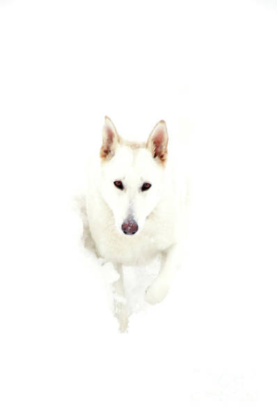 White Wolf Photograph - White German Shepherd In Snow by Thomas R Fletcher