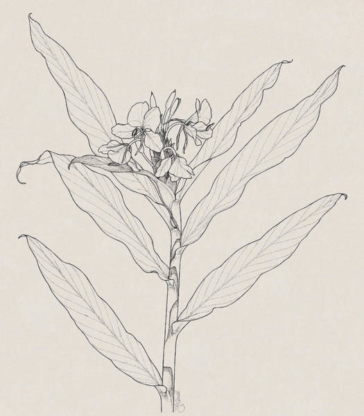 Drawing - White Ginger by Judith Kunzle