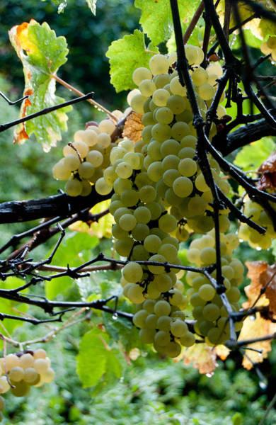 Photograph - White Grapes by Jani Freimann