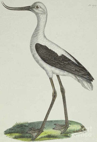 Black And White Nature Drawing - White Headed Avocet by Paul Louis Oudart