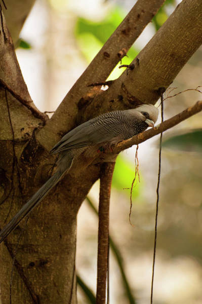 Photograph - White Headed Mousebird by Chris Flees