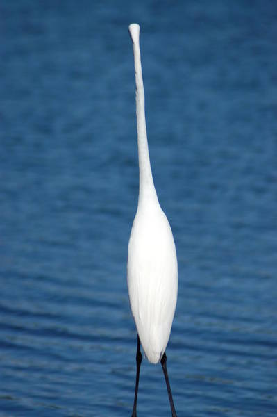 Photograph - White Heron by Donna Bentley