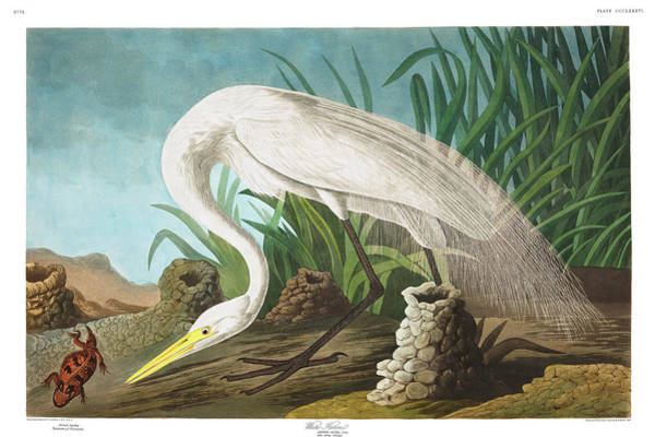 Wall Art - Painting - White Heron by John James Audubon