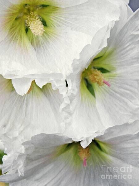 Alcea Photograph - White Hollyhocks by Sarah Loft