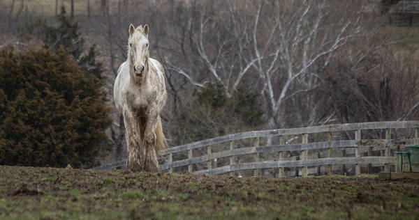 Photograph - White Horse And Fence by Karen Saunders