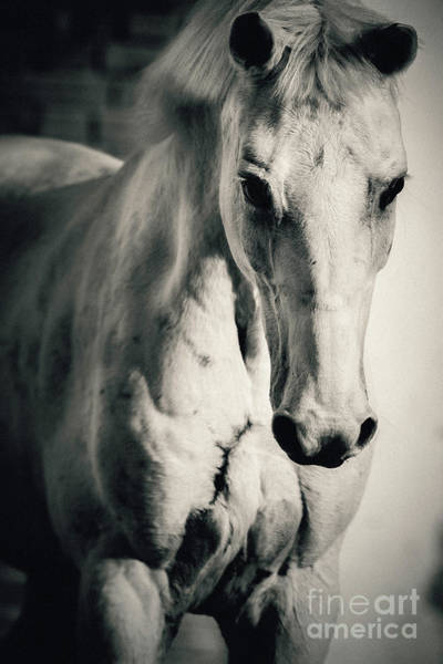 Photograph - White Horse Close Up Portrait by Dimitar Hristov
