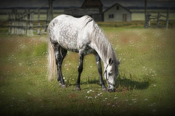 Andalusian Stallion Wall Art - Photograph - White Horse Grazing In A Pasture by Randall Nyhof