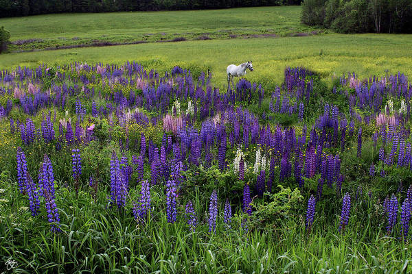 Photograph - White Horse In A Lupine Field by Wayne King