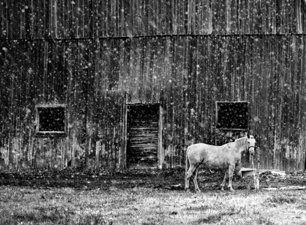 Photograph - White Horse In A Snowstorm In Bw by Maggie Terlecki