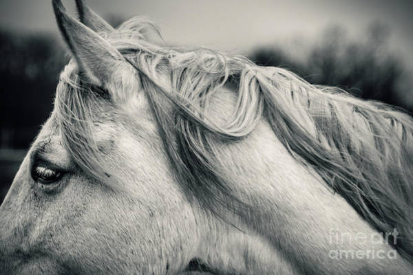 Photograph - White Horse In Black And White Portrait by Dimitar Hristov
