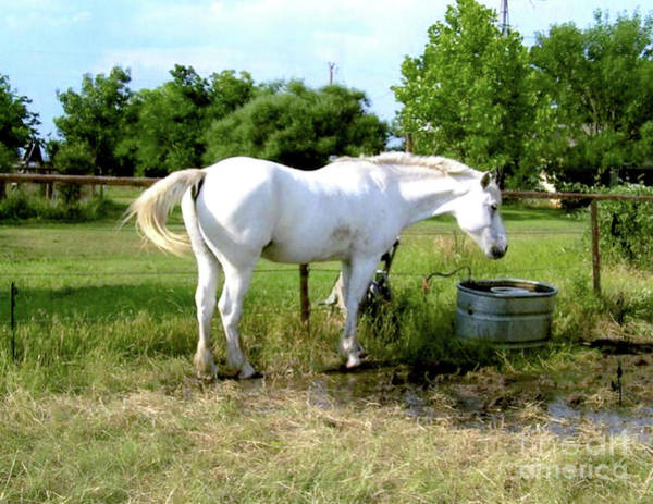 Ivanhoe Photograph - White Horse Named Ivanhoe by Ruth Housley