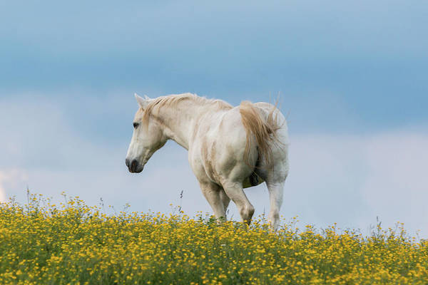 White Horse Of Cataloochee Ranch - May 30 2017 Art Print
