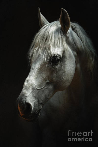 Photograph - White Horse Portrait by Dimitar Hristov