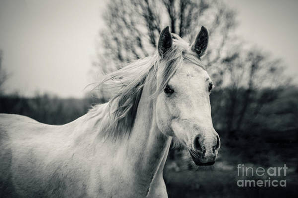 Photograph - White Horse Shaggy Morning Horse by Dimitar Hristov
