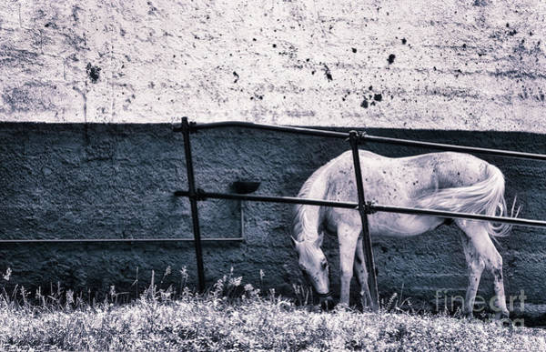 Photograph - White Horse by Silvia Ganora