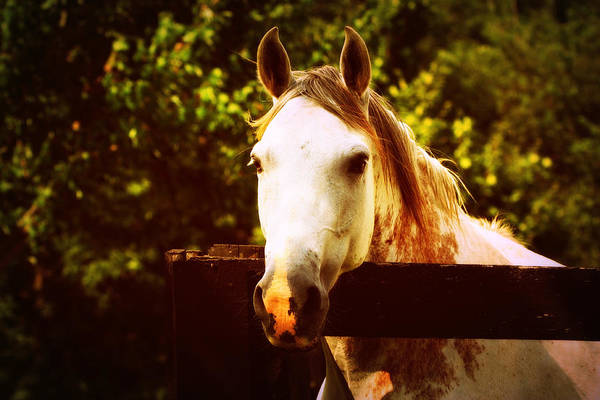 Photograph - White Horse by Susie Weaver