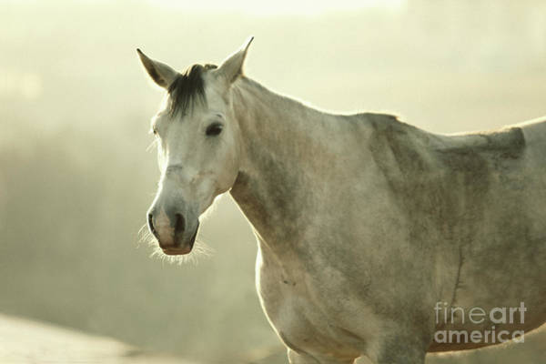 Photograph - White Horse Vintage Portrait by Dimitar Hristov