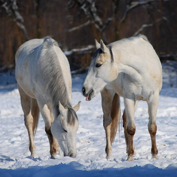 Wall Art - Photograph - White Horses by  Jaroslaw Grudzinski