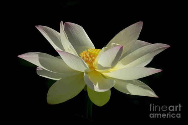 Photograph - White Hot And Graceful by Sabrina L Ryan