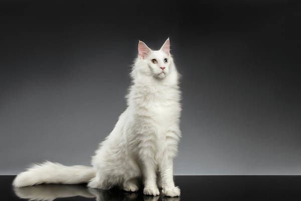 Cat Photograph - White Huge Maine Coon Cat On Gray Background by Sergey Taran
