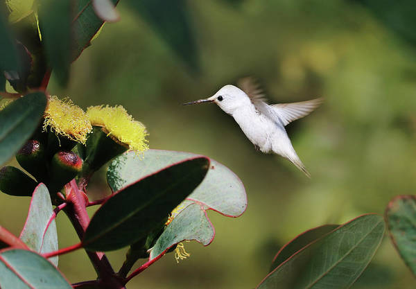 Photograph - White Hummingbird 1 by Xueling Zou