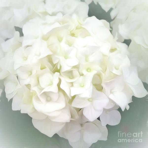 Photograph - White Hydrangea by Luther Fine Art