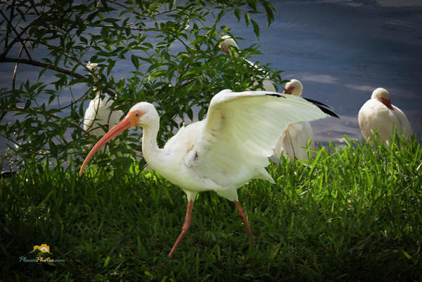 Photograph - White Ibis 2 by Jim Thompson