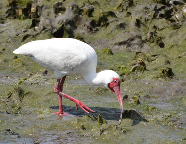 Photograph - White Ibis by Dan Williams