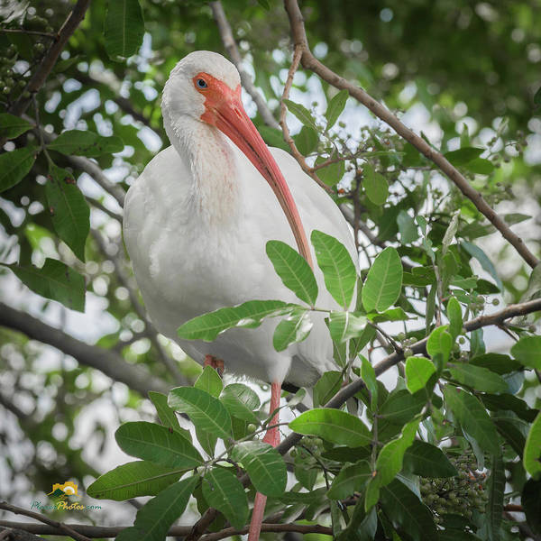 Photograph - White Ibis by Jim Thompson