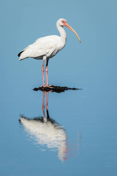 Photograph - White Ibis Reflection by Dawn Currie