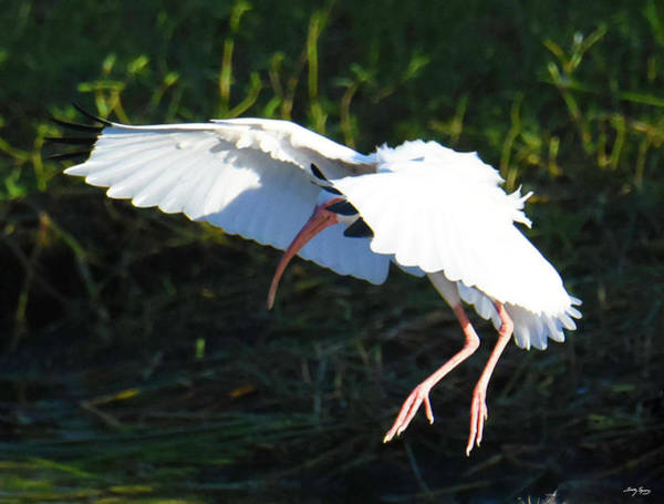 Photograph - White Ibis Stablizing For A Soft Landing by Sally Sperry