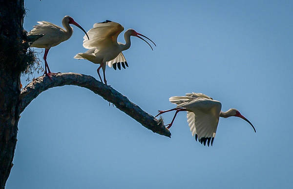 Photograph - White Ibis Takeoff by Tom Claud