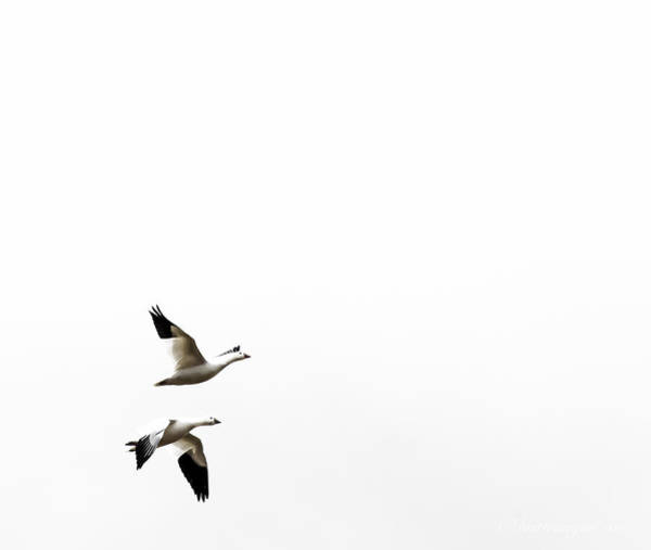 Photograph - White In Flight by Britt Runyon