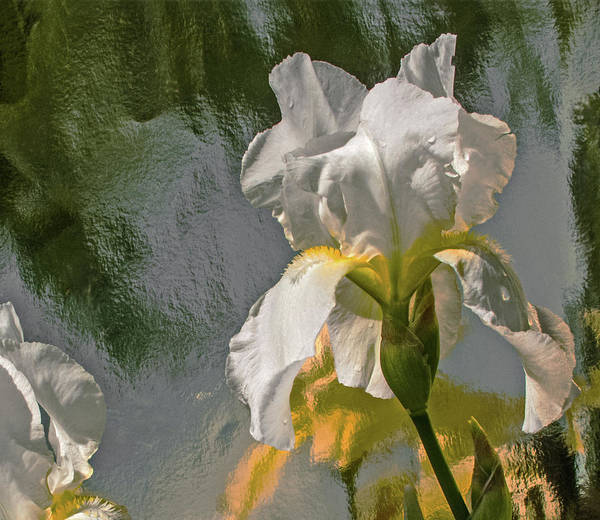 Iris Flower Photograph - White Iris by Don Spenner