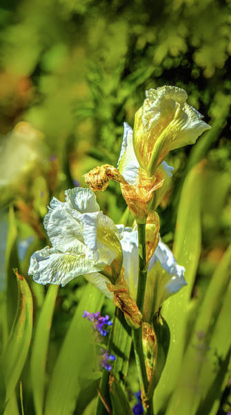 Photograph - White Iris #g4 by Leif Sohlman