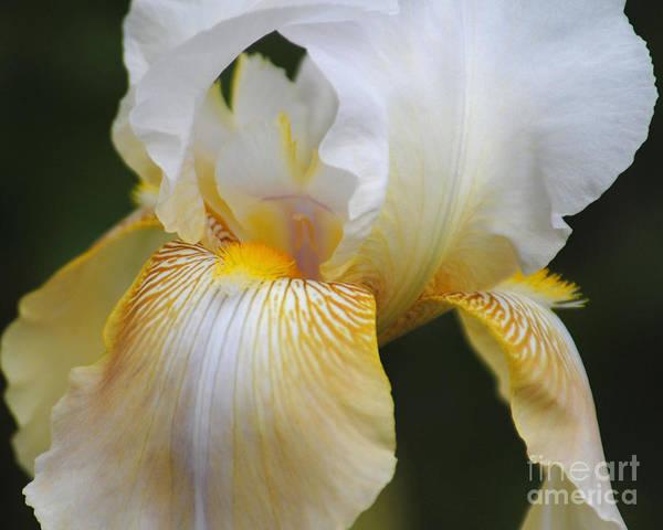 Photograph - White Iris II by Jai Johnson