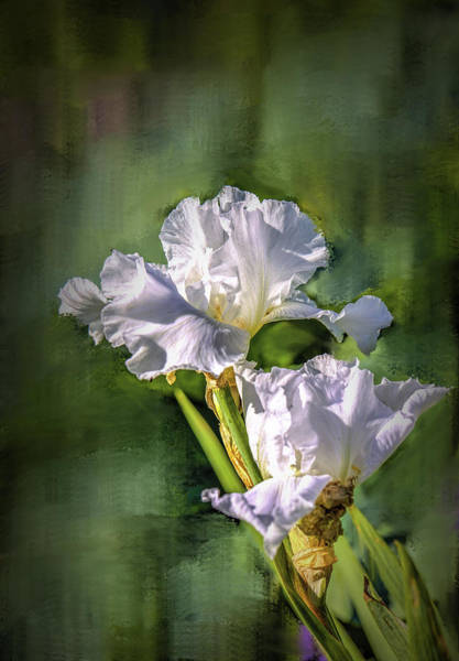 Photograph - White Iris On Abstract Background #g4 by Leif Sohlman