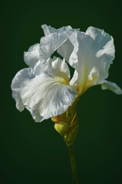 Photograph - White Iris On Dark Green #g0 by Leif Sohlman
