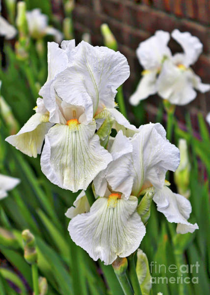 Wall Art - Photograph - White Irises by Carol Groenen