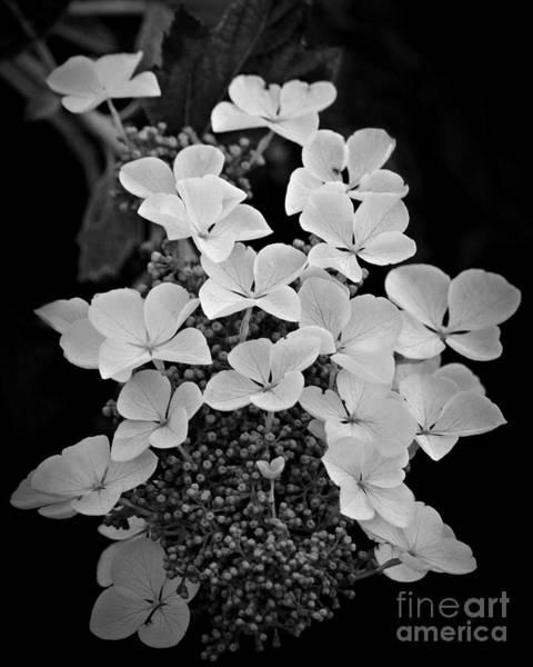 Photograph - White Lacecap Hydrangea by Patricia Strand