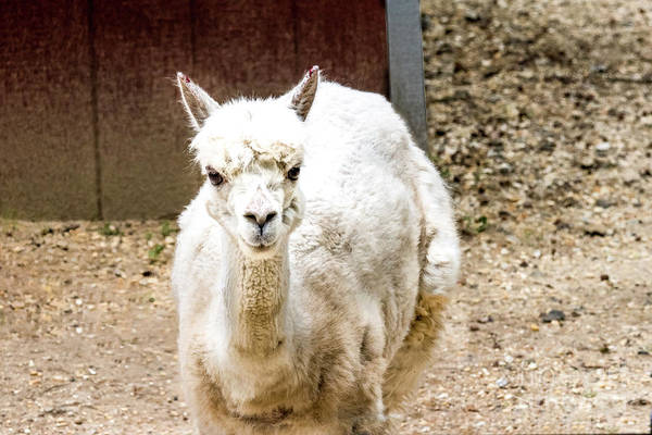 Photograph - White Lama by Tom Horsch Photography