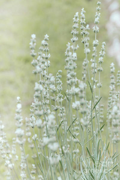 Photograph - White Lavender 2 by Andrea Anderegg
