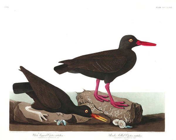 Wall Art - Painting - White-legged Oyster-catcher by John James Audubon