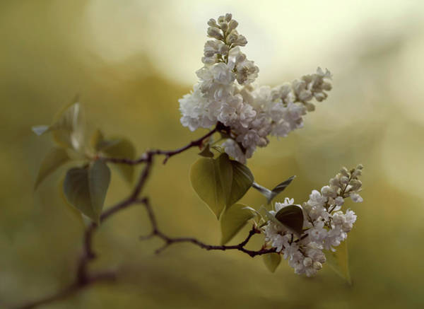 Wall Art - Photograph - White Lilac  by Jaroslaw Blaminsky