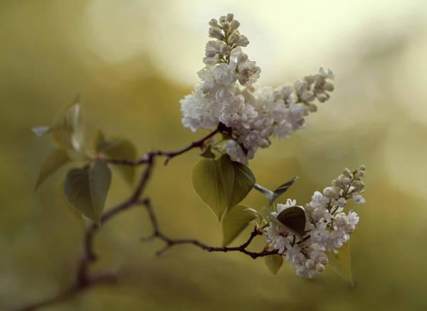 Photograph - White Lilac  by Jaroslaw Blaminsky