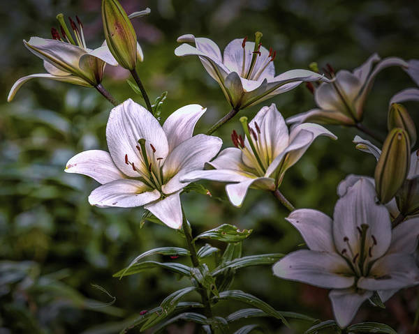 Photograph - White Lilies #g5 by Leif Sohlman